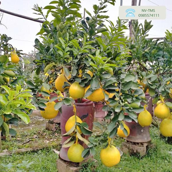 Bưởi cảnh bonsai