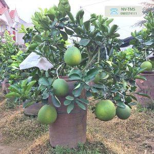Bưởi cảnh bonsai - Bưởi cảnh Văn Giang - Nhà vườn Thiên Minh Sơn
