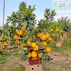 Bưởi cảnh bonsai - Nhà vườn Thiên Minh Sơn