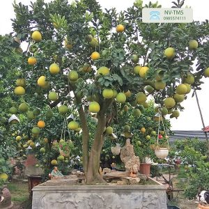 Bưởi cảnh cổ thụ - Bưởi cảnh Văn Giang - Nhà vườn Thiên Minh Sơn