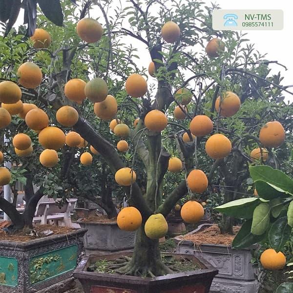 Bưởi thế thân to - Nhà vườn Thiên Minh Sơn