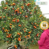 Cây cam - cây ăn quả - cây cảnh