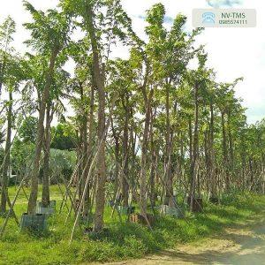 Cây công trình - Nhà vườn Thiên Minh Sơn