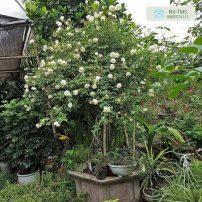 Cây hoa hồng bạch cổ - bạch xếp