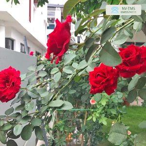 Cây hoa Hồng cổ Hải Phòng