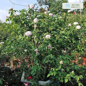 Cây hoa hồng cổ Vân khôi