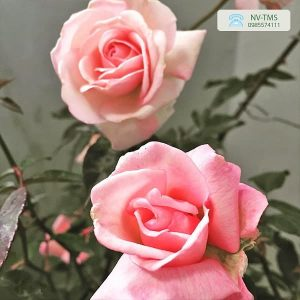 Cây hoa Hồng phấn