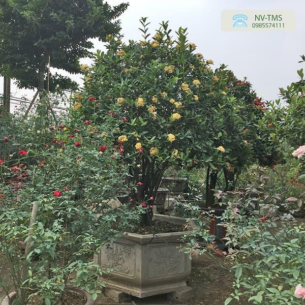 Cây hoa mẫu đơn vàng