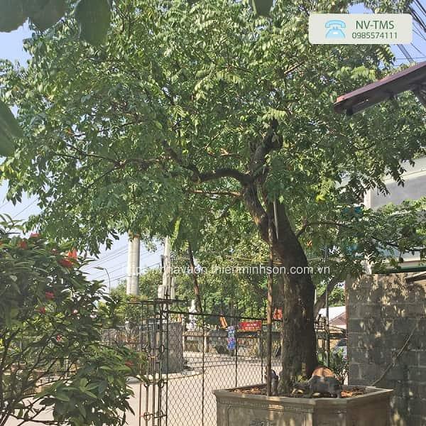 Cây Khế - Cây bóng mát