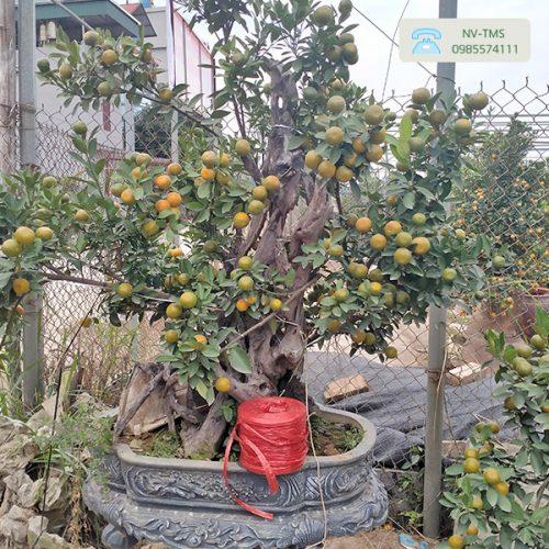 Cây Quất Cảnh - Quất Bonsai QC1192