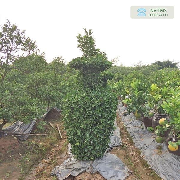 Cây quất cảnh - cây quất quả