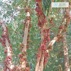 Cây sung - cây ăn quả