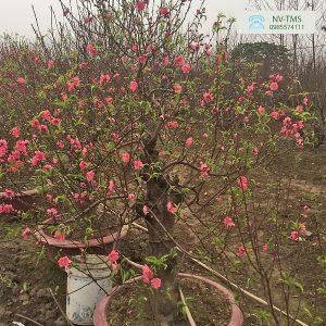 Đào bonsai - Nhà vườn Thiên Minh Sơn