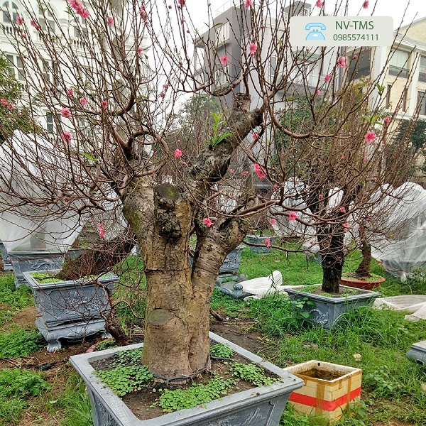 Đào bonsai Nhật Tân