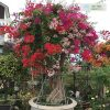 Cây hoa giấy 5 màu (hoa giấy ngũ sắc)