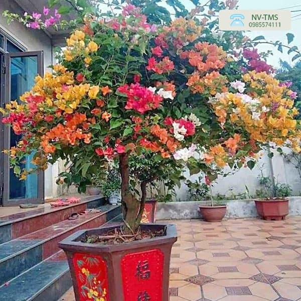 Hoa Giấy Ngũ Sắc (5 màu)